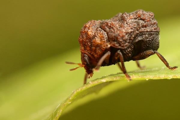 ハバビロコブハムシ (2)b
