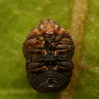 ハバビロコブハムシ (3)b