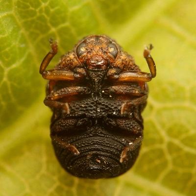 ハバビロコブハムシ (4)b