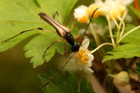 ホソハナカミキリ (3)b