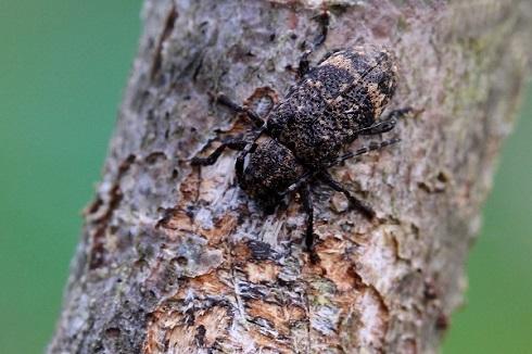 エゾサビカミキリ(1)b