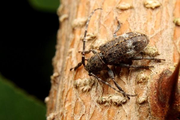 ヒメナガサビカミキリ (2)b