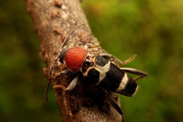 クビアカトラカミキリ (3)b
