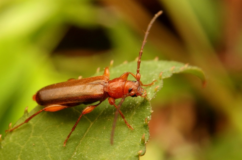 チャイロホソヒラタカミキリ (3)