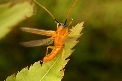 ヘリグロリンゴカミキリ (2)b