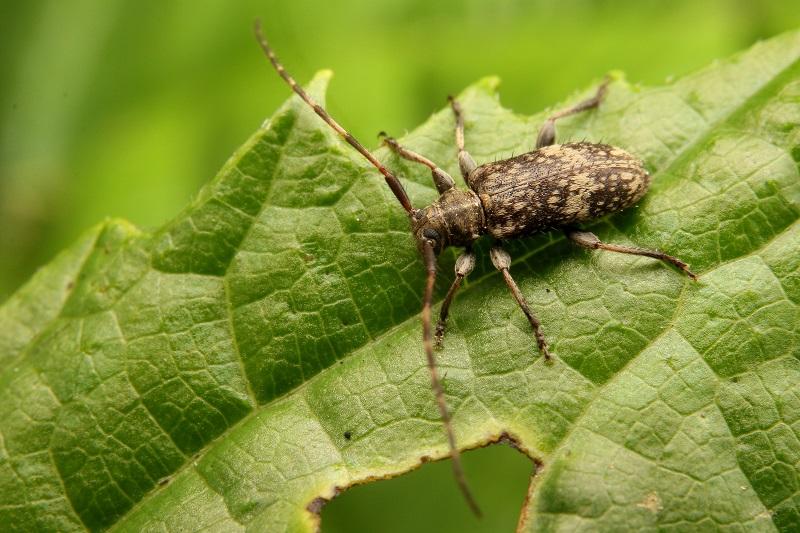 シロオビゴマフケシカミキリ (2)b