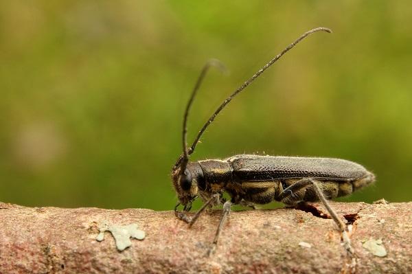 セミスジニセリンゴカミキリ (1)b