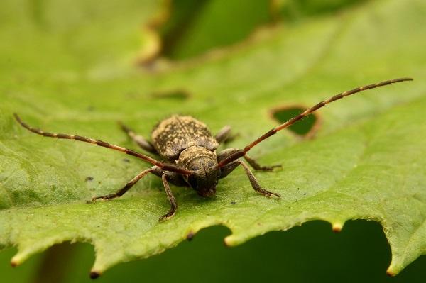 シロオビゴマフケシカミキリ (1)b