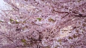 20160305大安TL 桜