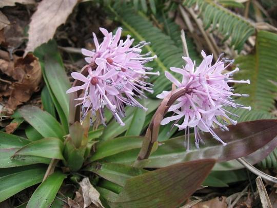 800px-Heloniopsis_orientalis_3.jpg