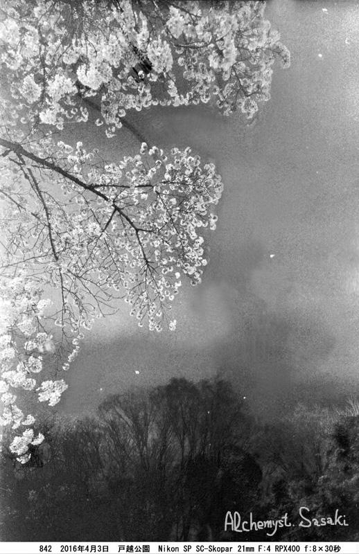 夜桜842-26b