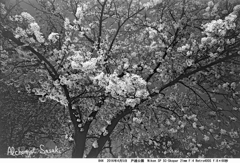 夜桜844-42 Ⅱ