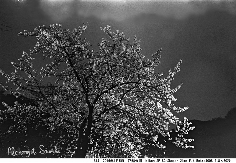 夜桜844-44 Ⅱ