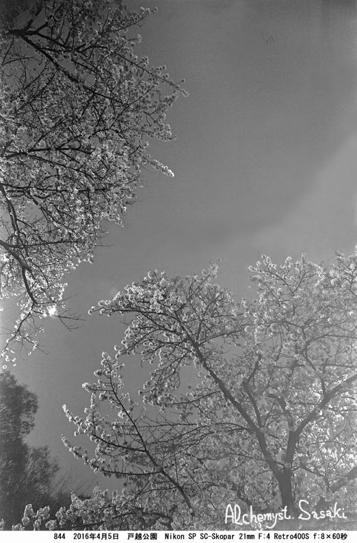 夜桜845-45 Ⅱ