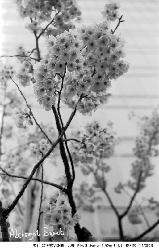 桜クローズアップ838-10