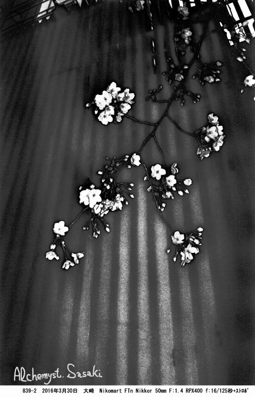 桜クローズアップ839-2-13