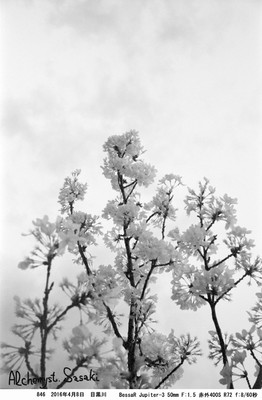 桜クローズアップ846-84