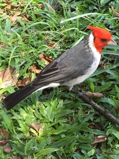 ハワイ カピオラニ 鳥ちゃん