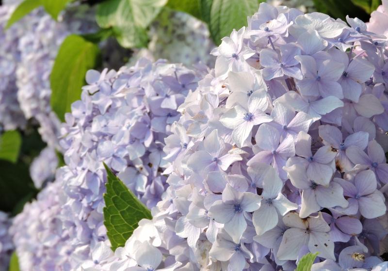紫陽花2016-06-26 023 (800x560)