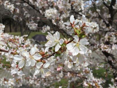 桜1(天神山)