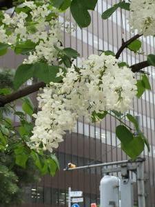 白いリラ(大通公園)2