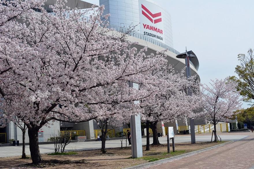 新・長居公園の桜 (1)