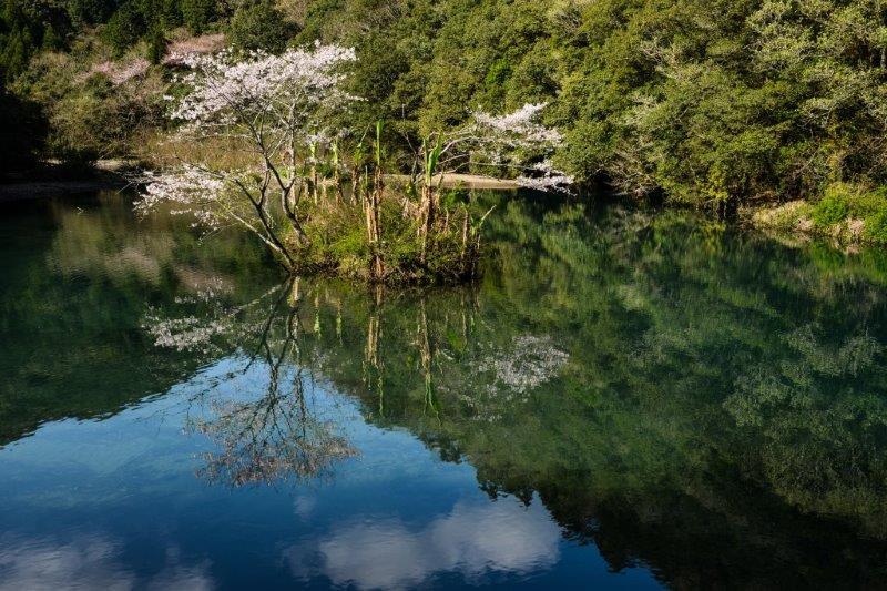 高知池の桜ー3-1