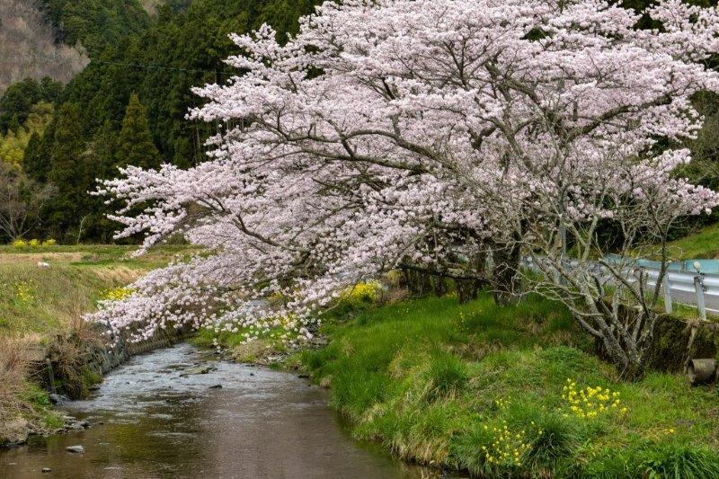 愛媛 伊予の桜ー2-1