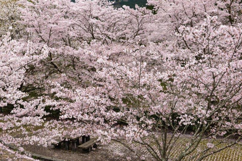 愛媛 伊予の桜ー3-1