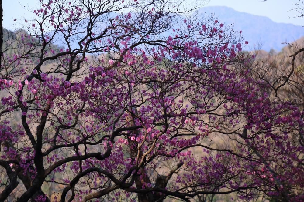アケボノツツジの咲くころ