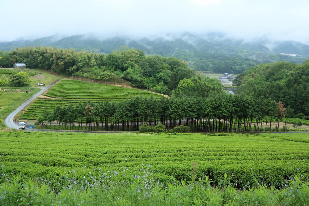 緑あふれる茶畑