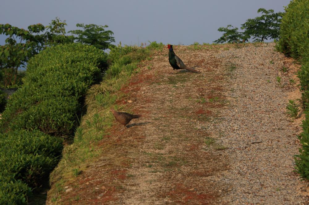雉の暮らす茶畑
