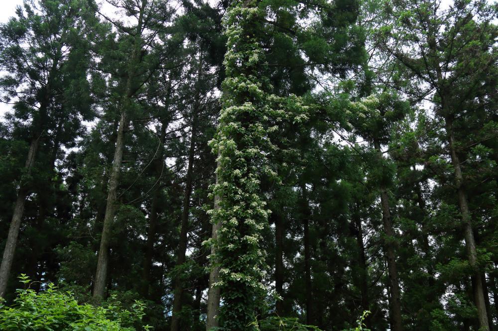 ツル紫陽花の森