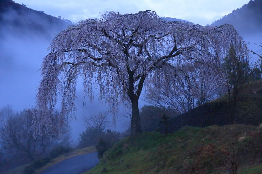 霧に浮かぶ桜