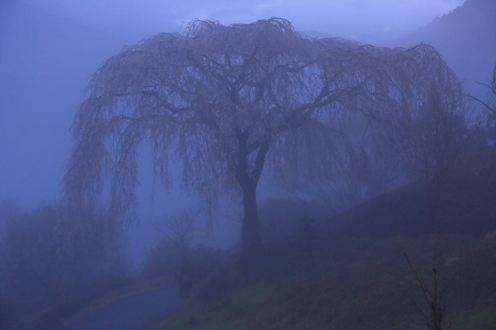 霧に包まれる桜