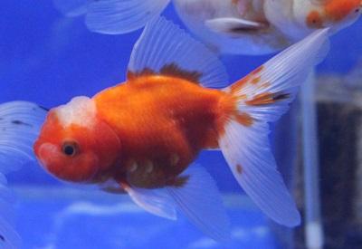 金魚0406