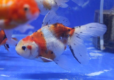 金魚0406-2