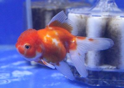 金魚0406-3
