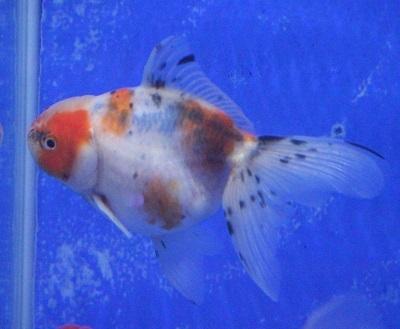 金魚0406-4
