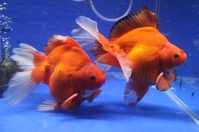 金魚0411-3