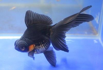 金魚0411