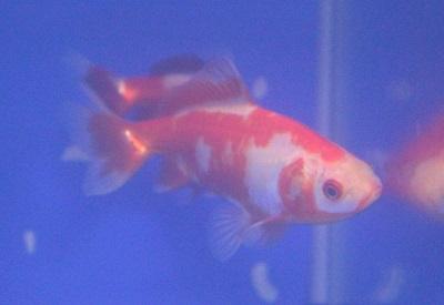 金魚0411-2