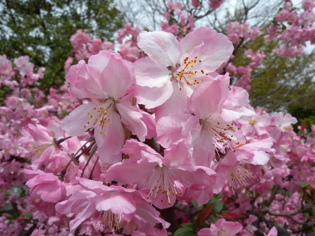 ハナカイドウ(花)