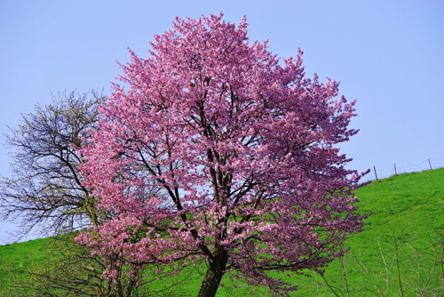 北海道・美瑛町の桜3