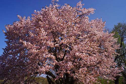 北海道・美瑛町の桜4