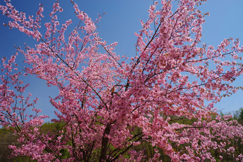 北海道・美瑛町の桜1