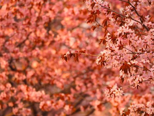 北海道・美瑛町の桜2