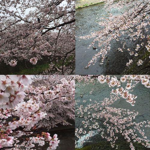 2016sakura2.jpg