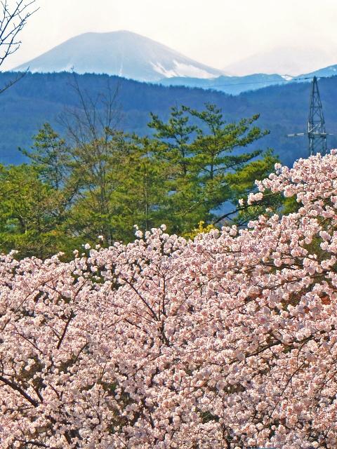満開の桜と吾妻小富士
