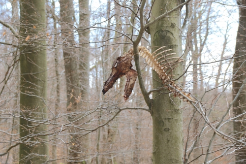 イノシシの白骨死体木の上